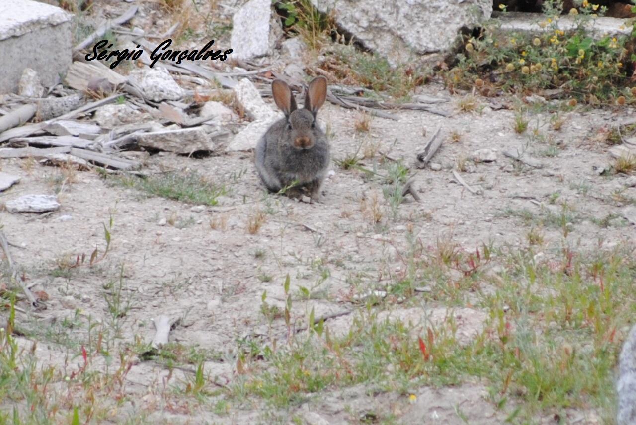 Coelho-europeu ou coelho-bravo ou coelho-comum (Oryctolagus cuniculus)