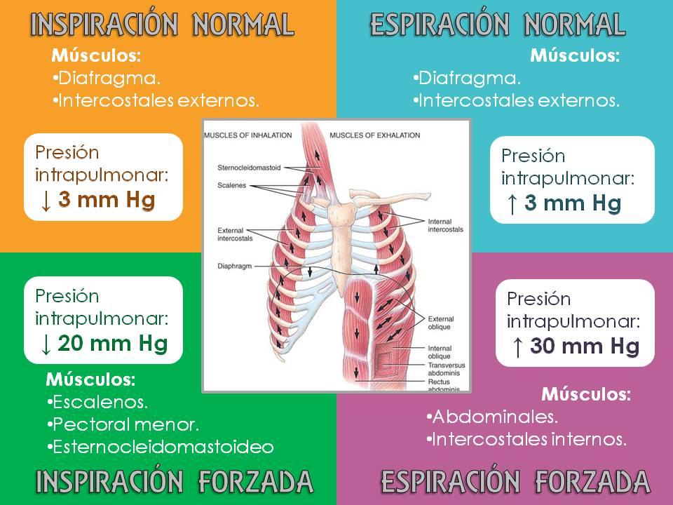 Fisiología - FACULTAD DE MEDICINA: Músculos de la respiración