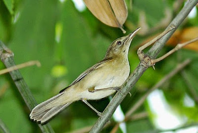 large billed reed warbler