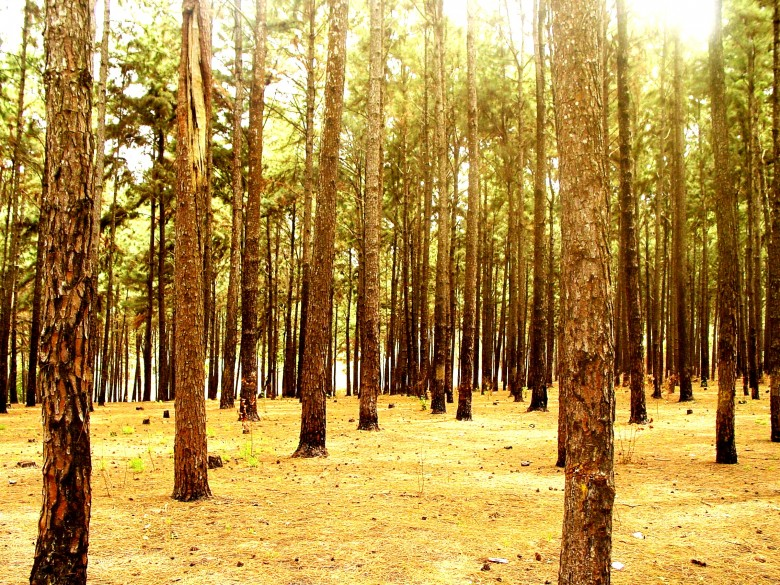 Ngwo pines