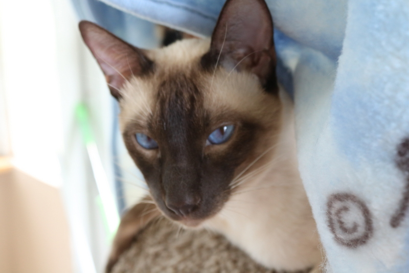 Yoshi a chocolate point classic Siamese