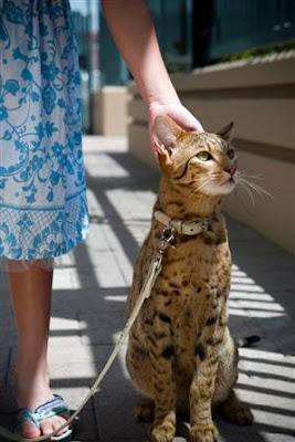 แมวพันธุ์Ashera