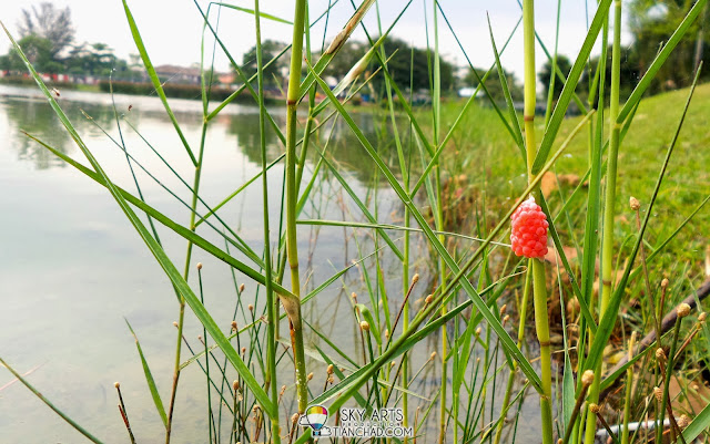 Striking red snail eggs spotted at the lake side - Captured using Samsung S4 Zoom
