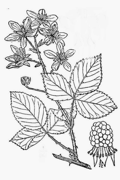Bramble Bush Drawing Rubus Argutus.jpg