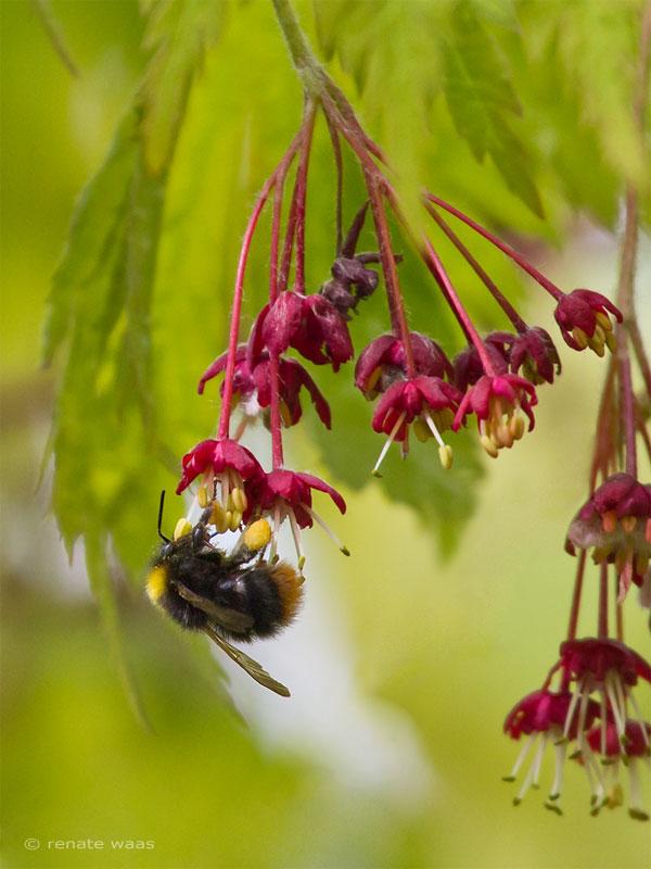 gartenblog geniesser garten wildbienen solit rbienen und hummeln. Black Bedroom Furniture Sets. Home Design Ideas