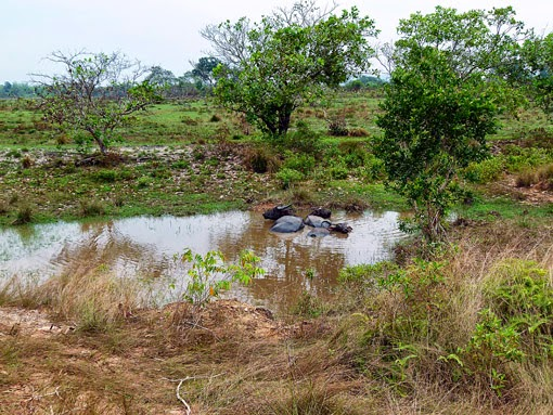 Cambodian water buffaloes