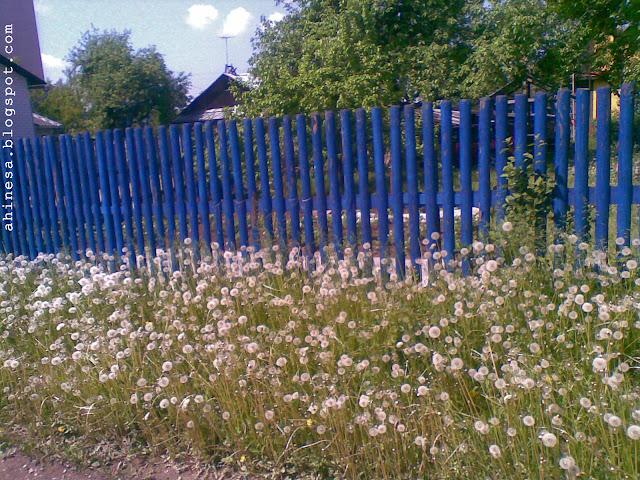 синяя ограда, одуванчики, весна