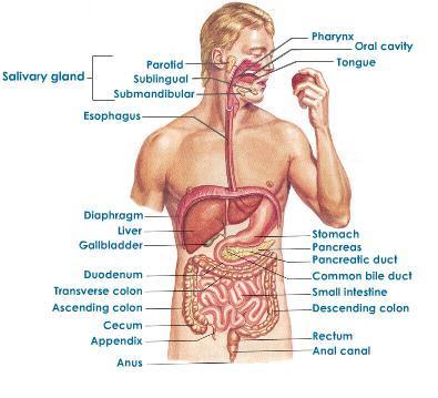 Online Gesund Lebent: Organsysteme