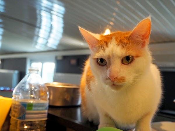 cat boat caprice belgium