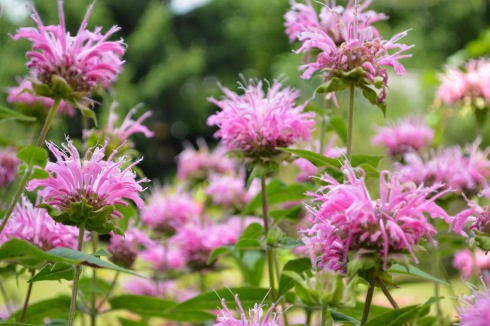 Bee Balm | seriously-lovely.blogspot.com