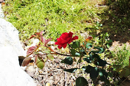 Our First Rose