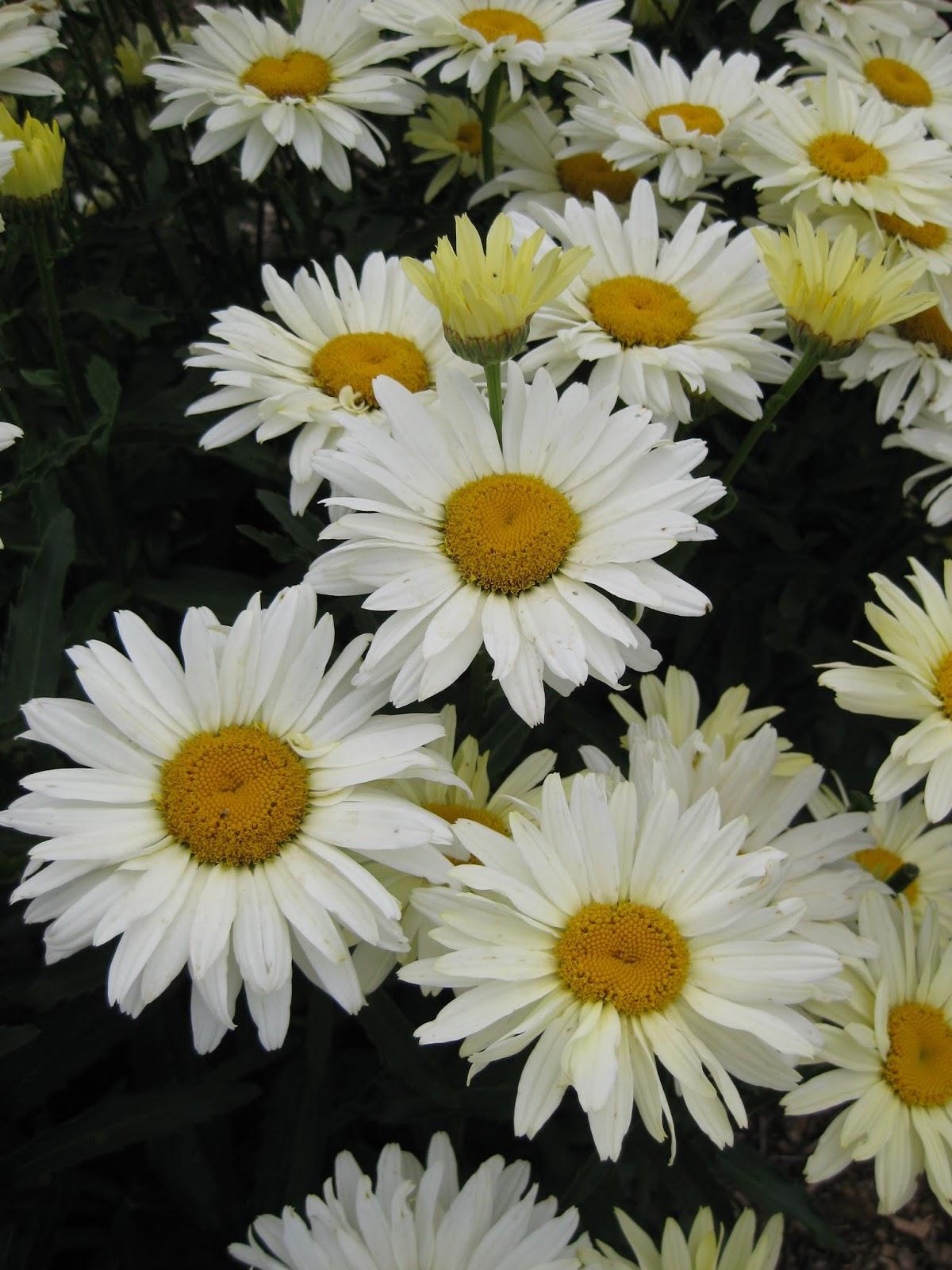 The Shasta Daisy Leucanthemum Rotary Botanical Gardens