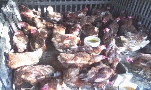 ayam petelur yang sudah tidak prodoktif di jual untuk di potong