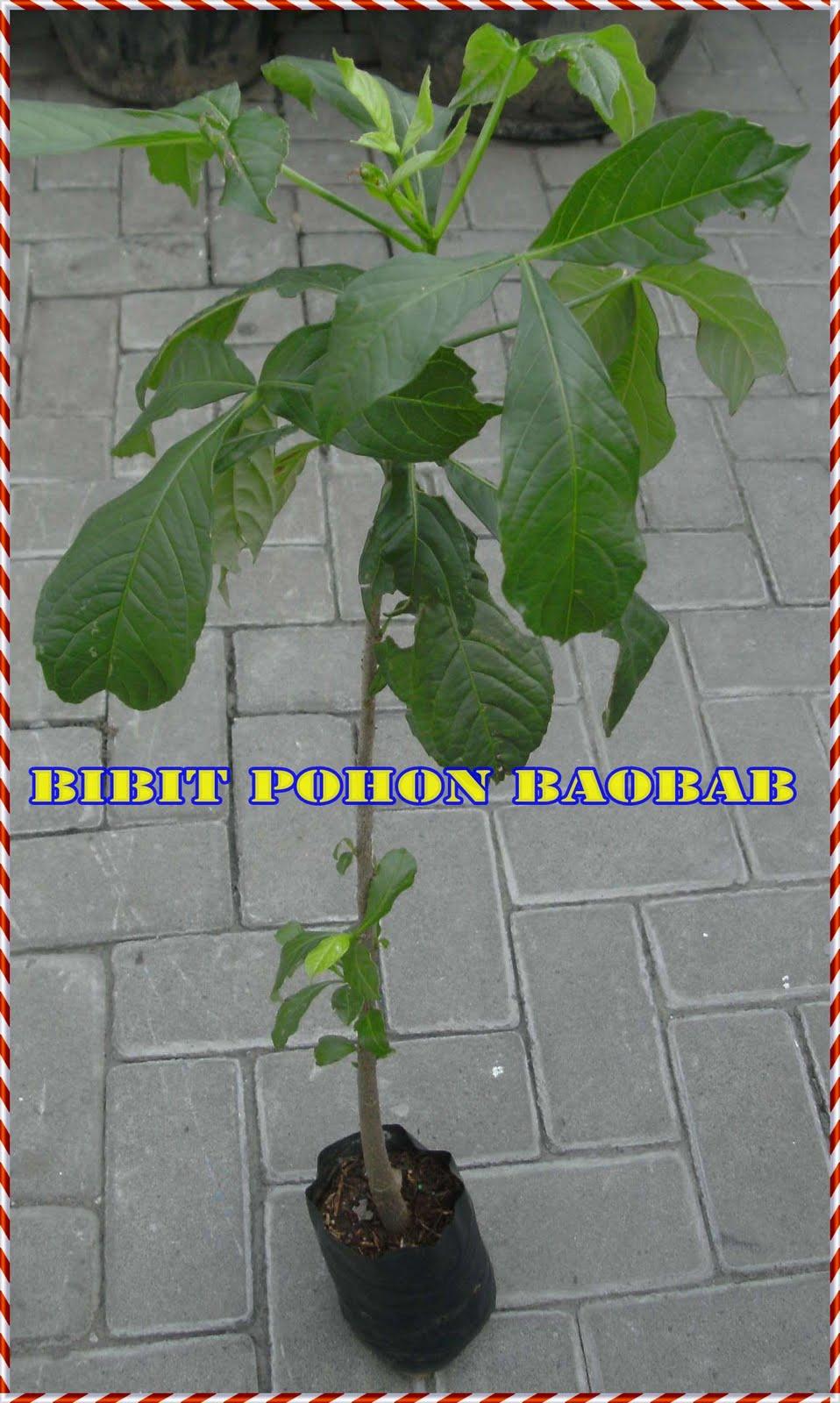 Ternyata pohon baobab african / asem buto terdapat segudang kasiat