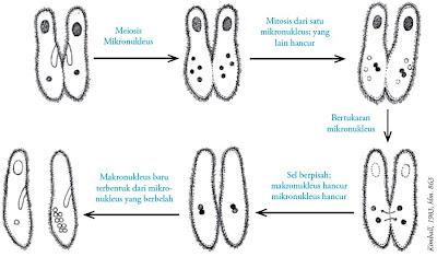 Reproduksi secara konjugasi pada Paramaecium caudatum