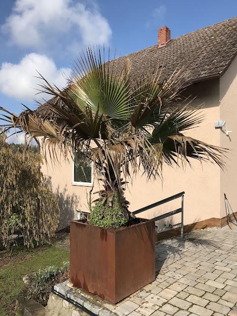 Washingtonia Palmen große besondere Geschenke zum kleinen Preis für Weihnachten