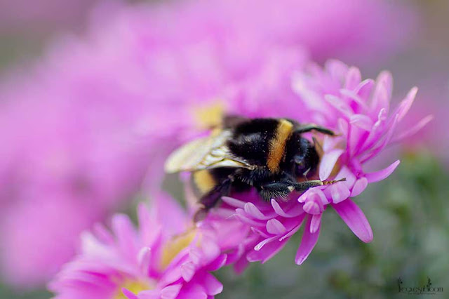 solitary bee feeding from pink autumn aster