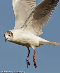 WHY BLACK-HEADED GULLS?