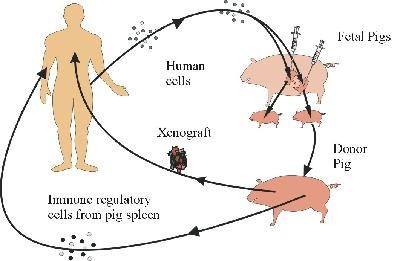 the risks and benefits of xenotransplantation Concerns regarding potential infectious risks of xenotransplantation have generally overwhelmed  some of the unique benefits of xenotransplantation are.