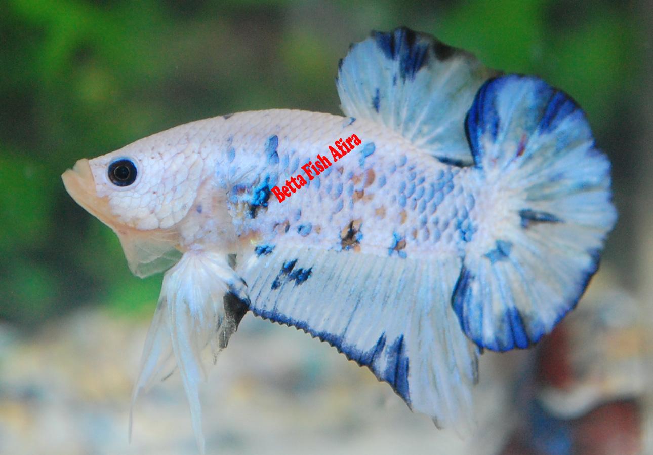 how to breed koi betta fish