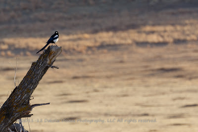 Black Billed Magpie Bird Photography Tips by Dakota Visions Photography LLC