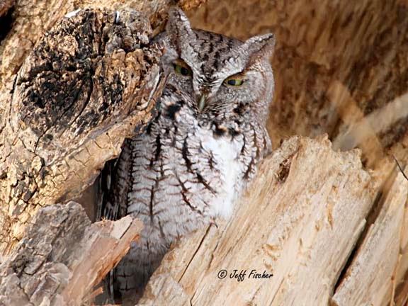Eastern Screech-Owl Gray