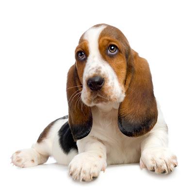 Basset Hound Puppy Pictures