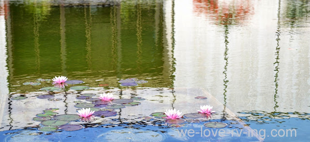 Water lilies are blooming amid the reflections on the pond