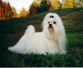 maltese dog puppy breeds hound chien hund perro canine animals domestics maskotak pets Haustiere huisdieren animaux de compagnie husdjur info