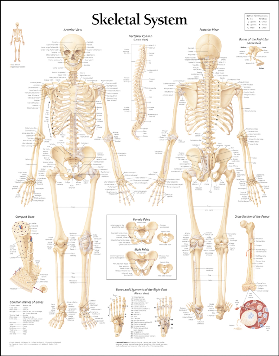 human body system: human skeleton system and its different parts, Skeleton