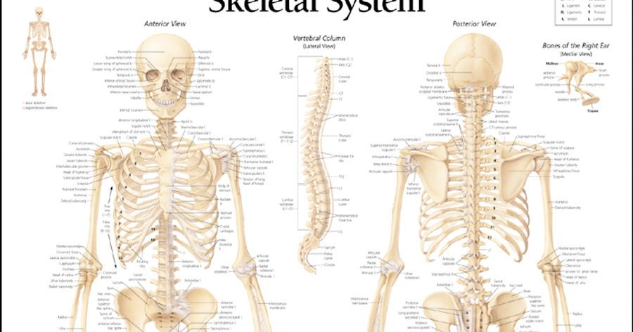 HUMAN BODY SYSTEM: Human Skeleton System and Its Different ...