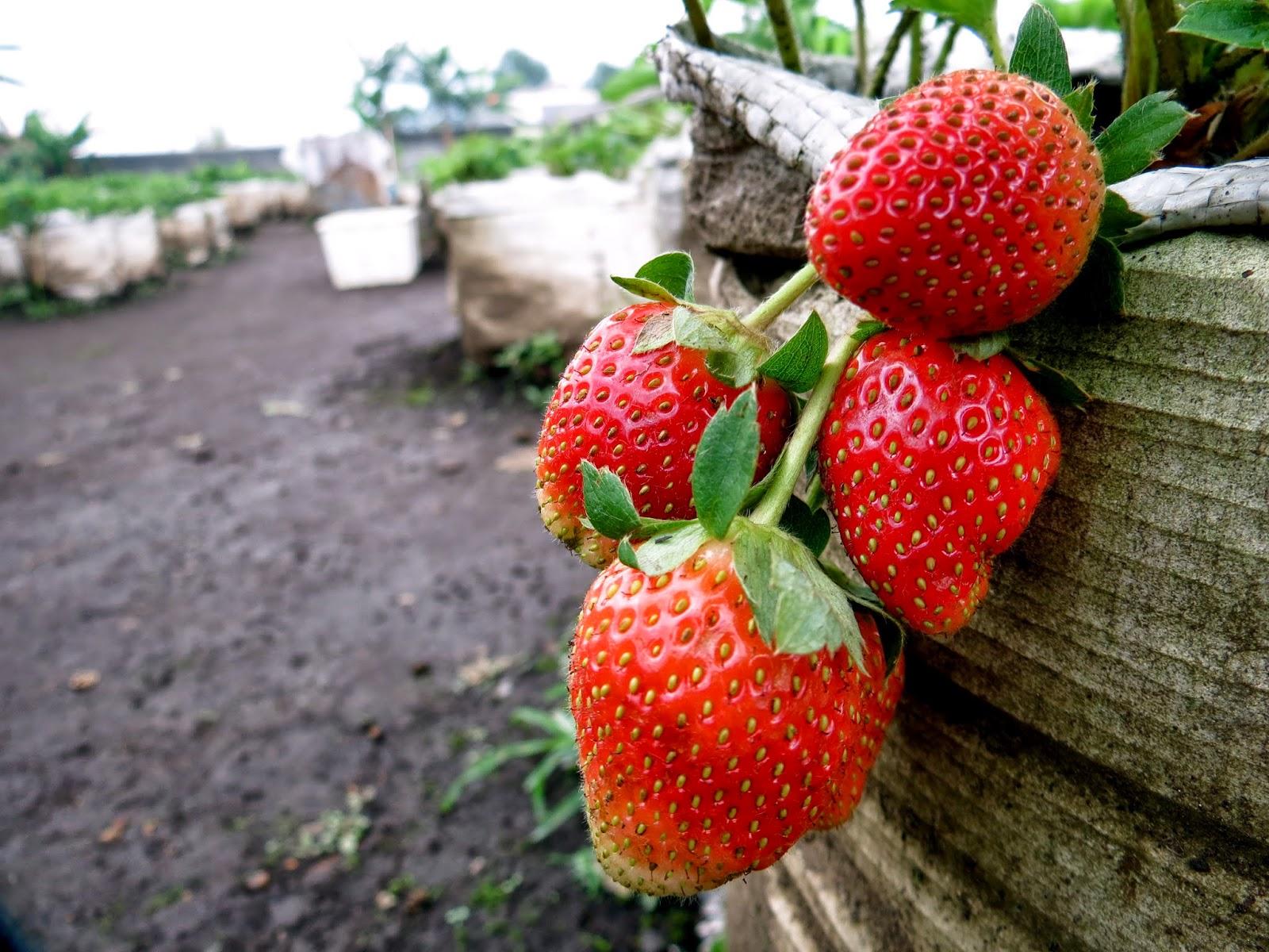 bandung strawberry farm