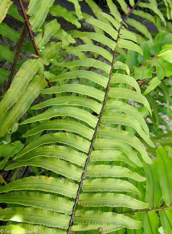 Future is written in green nephrolepis exaltata var - Nephrolepis exaltata ...