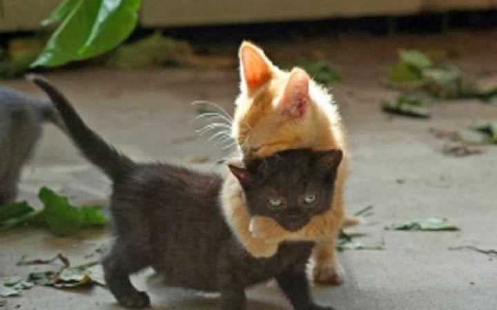 Orange kitten with a black kitten in a headlock | Exclusively Cats Veterinary Hospital, Waterford, MI