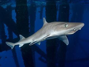 hiu dogfish