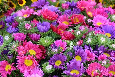 anisti ibuno flowers  chrysanthemum meaning, Natural flower
