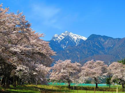「南アルプスのしずく」チュピちゃんのホームページ(下の写真をclick・クリック)して下さい。真原桜並木から見る雄大な甲斐駒ヶ岳