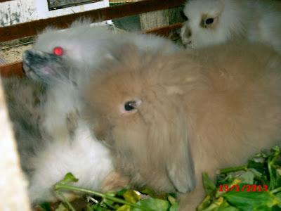 kelinci lop dijual