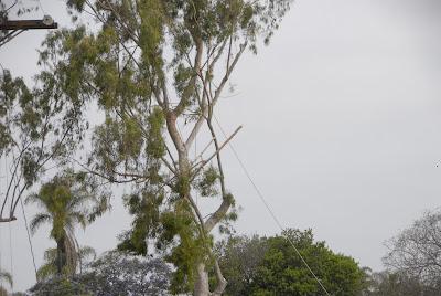 Wisteria tree next to Eucalyptus grove