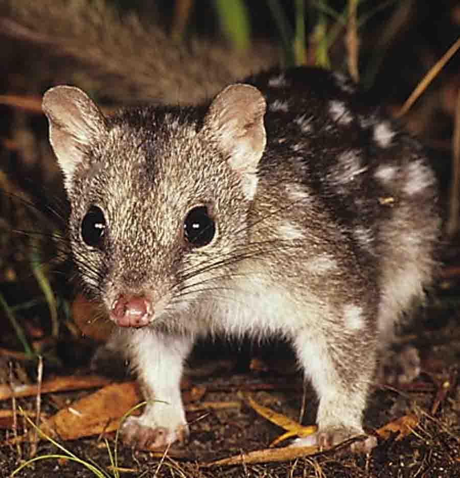 an overview of the endangered species in australia Overview of threatened species in victoria  in victoria and other states across  australia there are non-legislative threatened species advisory lists as well as.
