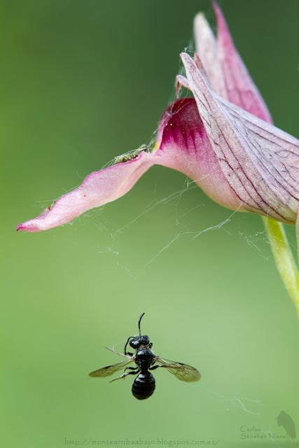 Ceratina cucurbitina atrapada en una tela de araña en Serapias lingua.
