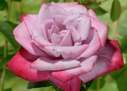 Paradise rose сорт розы фото