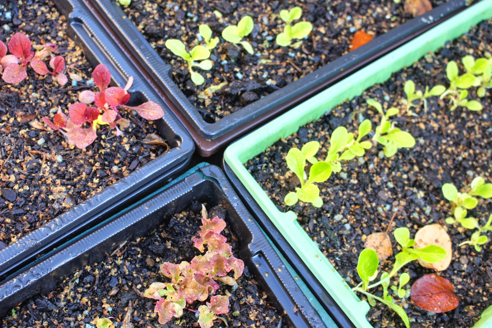 Seed trays with various salad leaves