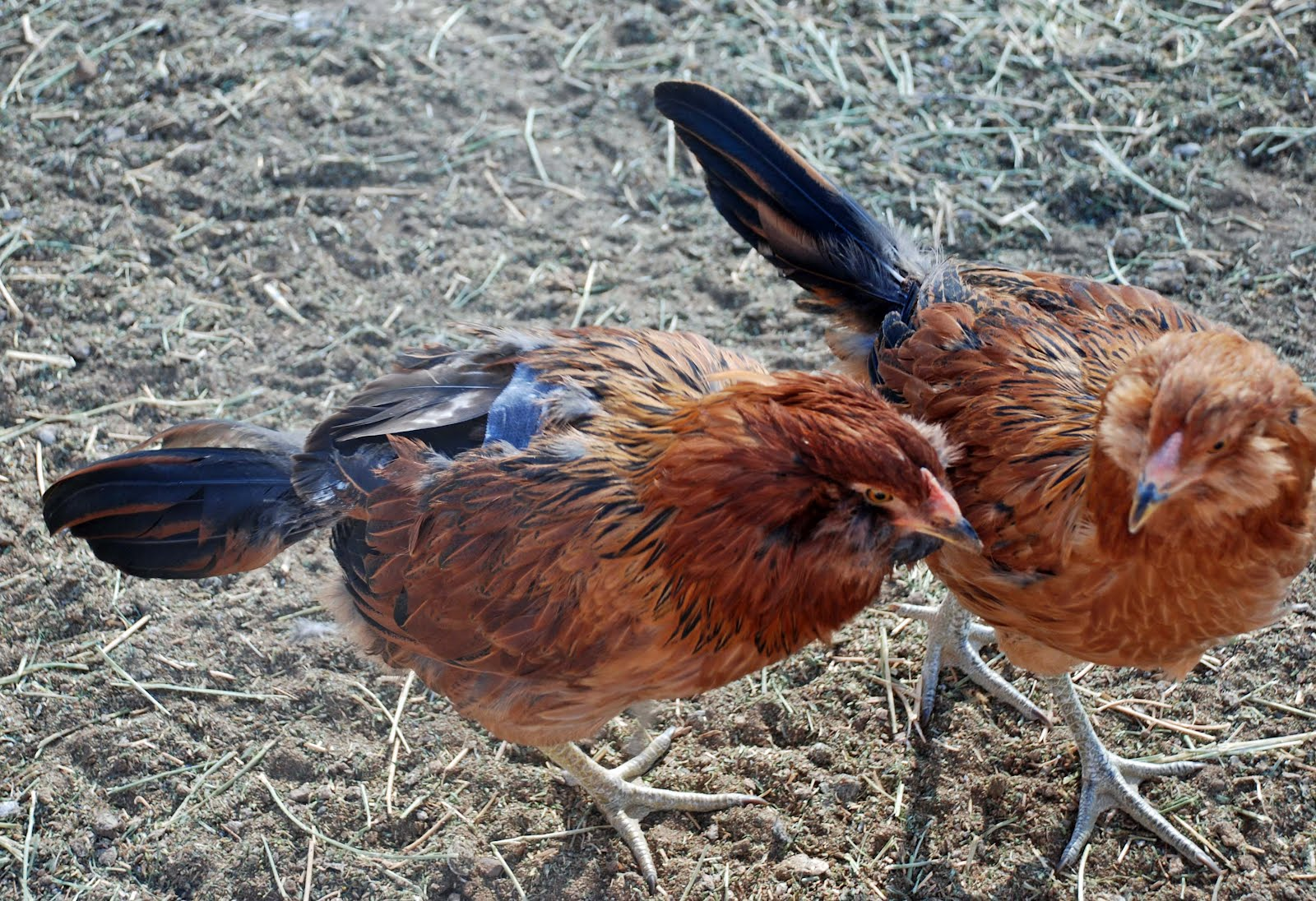 how to stop hens pecking each other