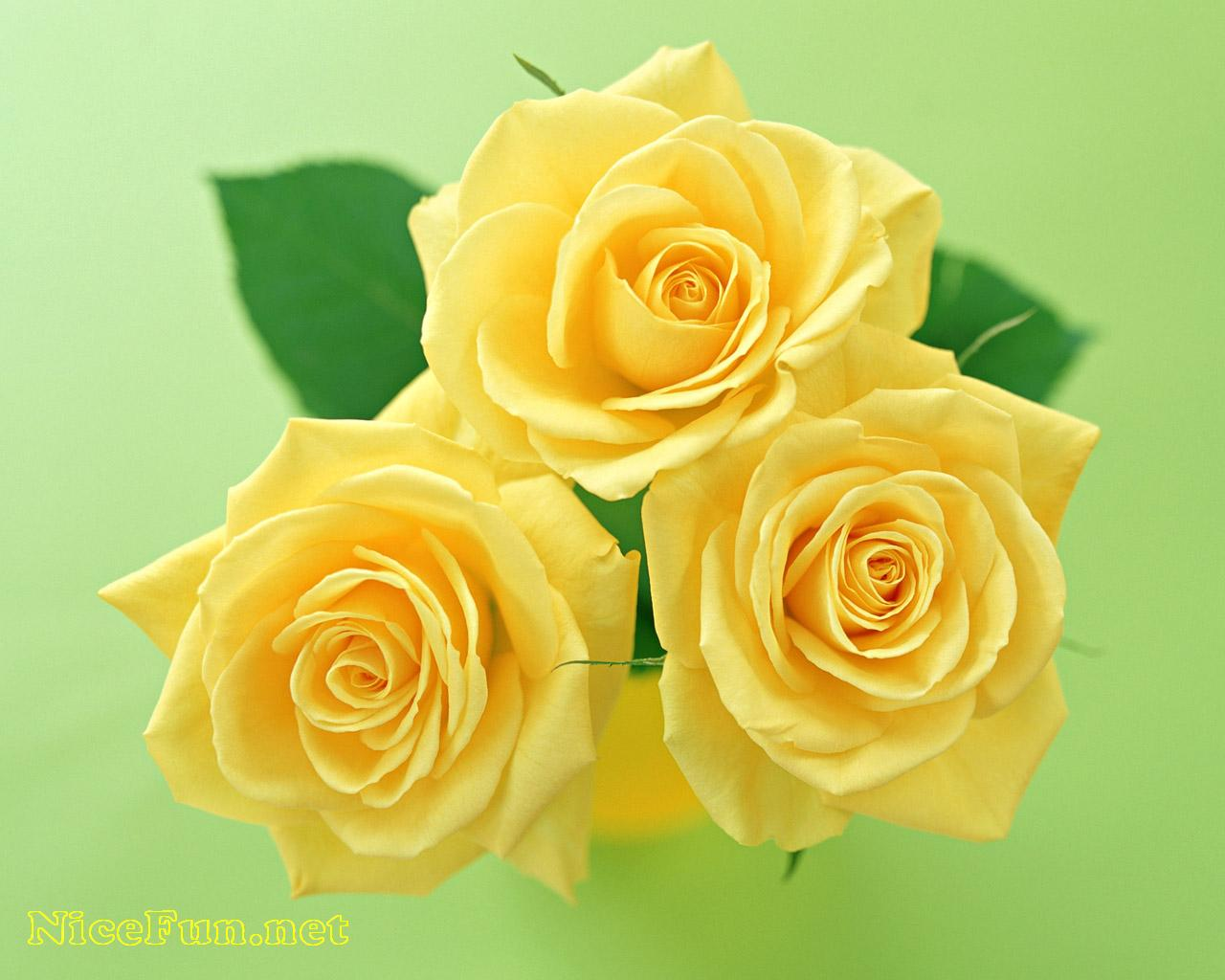 Cute Roses Pictures
