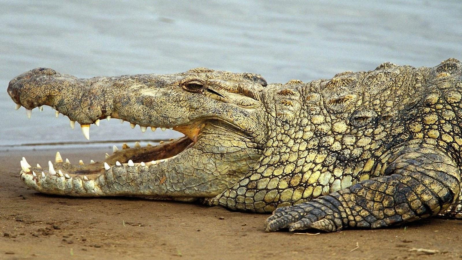 Krokodil Achtergronden   HD Wallpapers