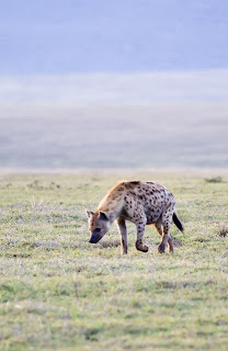 Spotted Hyena eating grass