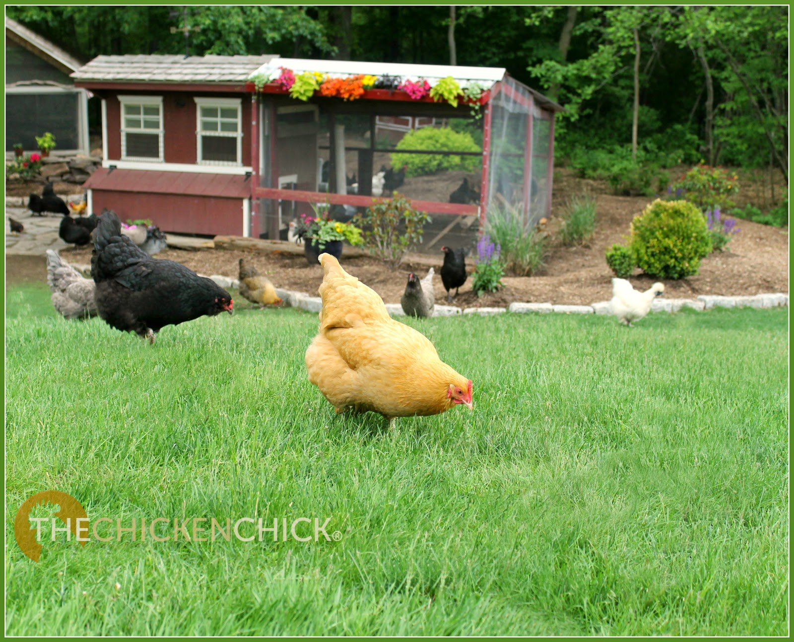 the chicken backyard chickens u0026 avian influenza what to
