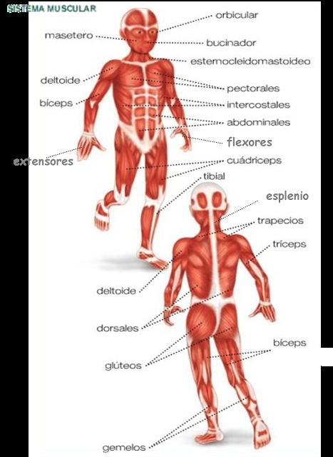 los huesos y los musculos: