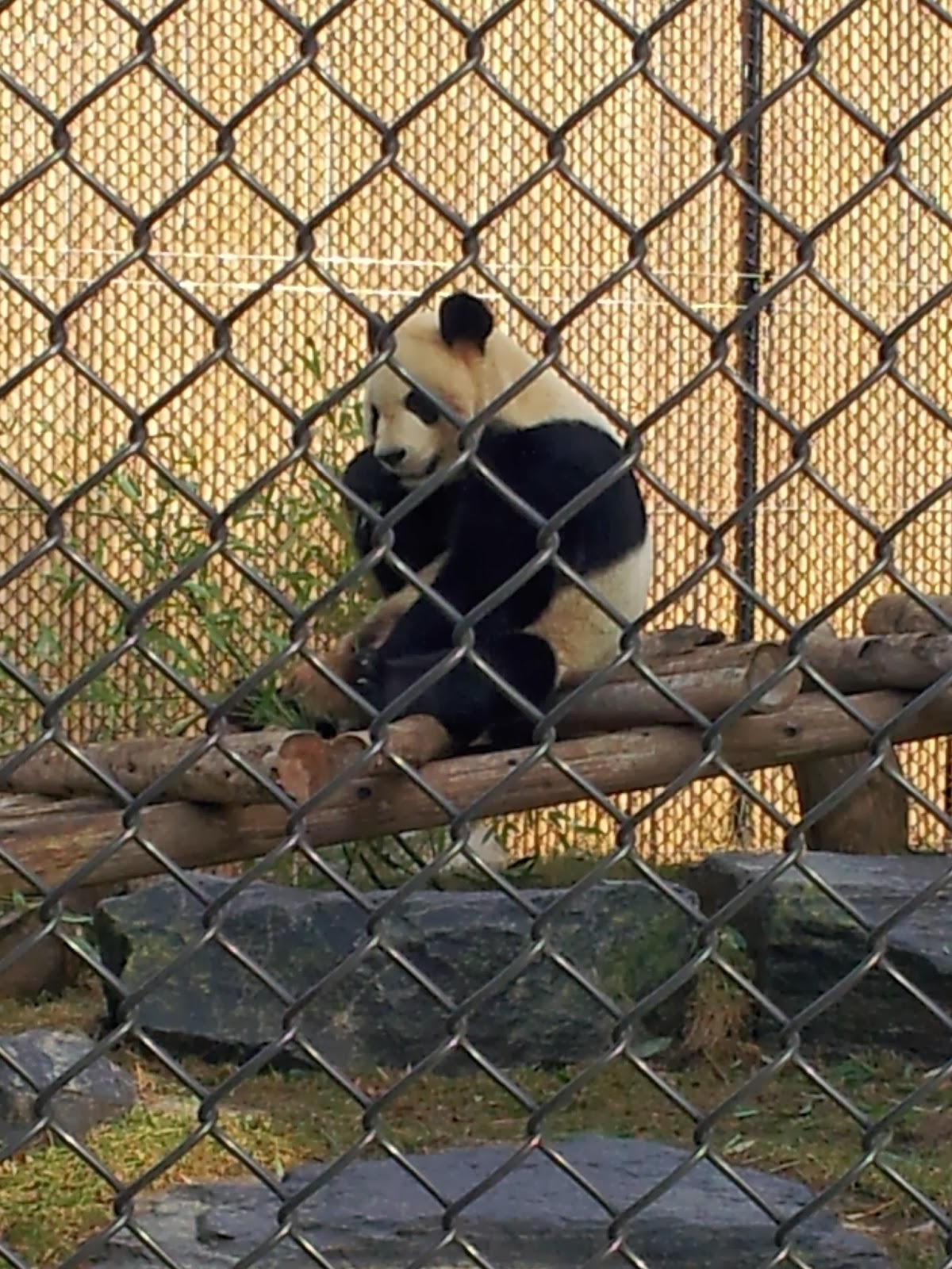 panda, bear, zoo, Toronto Zoo, animals